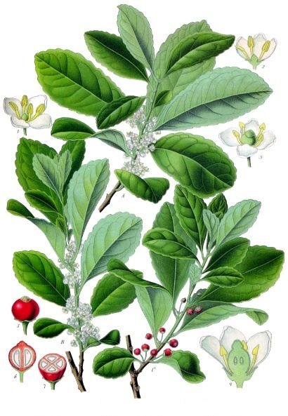 Ilex_paraguariensis_-_Köhler–s_Medizinal-Pflanzen-074